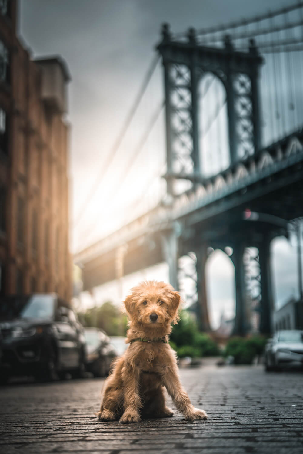 Foto-Shooting Fotografie New-York Brooklyn-Bridge Hund Terrier